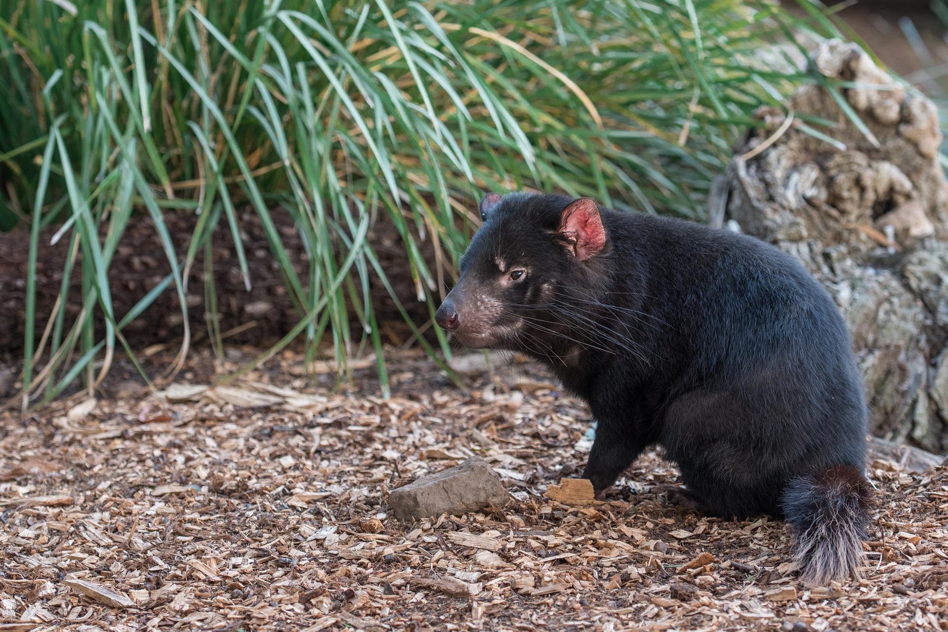 tasmanský čert